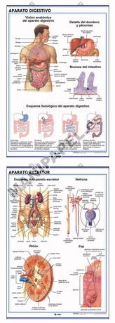 LÁMINAS DE ANATOMÍA SECUNDARIA CASTELLANO ED-900 Aparato Digestivo / Aparato Excretor