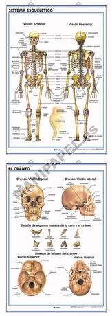 LÁMINAS DE ANATOMÍA SECUNDARIA CASTELLANO ED-901 Sistema Esquelético / El Cráneo