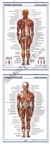 LÁMINAS DE ANATOMÍA SECUNDARIA CASTELLANO ED-902 Sist.Muscular ( Visión Ventral ) / Sist.Muscular ( Visión Dorsal )