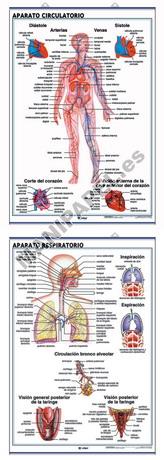 LÁMINAS DE ANATOMÍA SECUNDARIA CASTELLANO ED-903 Aparato Circulatorio / Aparato Respiratorio