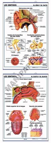 LÁMINAS DE ANATOMÍA SECUNDARIA CASTELLANO ED-905 Oído y Tacto / Gusto y Olfato