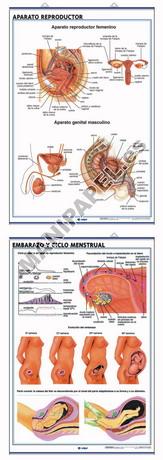 LÁMINAS DE ANATOMÍA SECUNDARIA CASTELLANO ED-906 Aparato Reproductor / Embarazo y Ciclo Menstrual