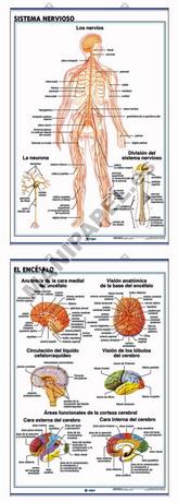 LÁMINAS DE ANATOMÍA SECUNDARIA CASTELLANO ED-907 Sistema Nervioso / Encéfalo
