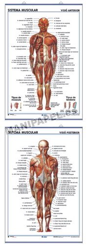 LÁMINAS DE ANATOMÍA SECUNDARIA CATALÁN ED-912 Sist.Muscular ( Visió Anterior ) / Sist.Muscular ( Visió Posterior )