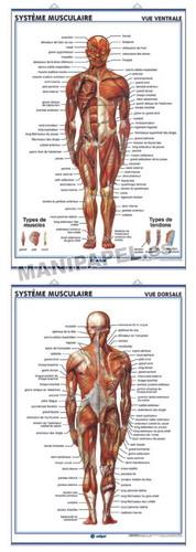 LÁMINAS DE ANATOMÍA SECUNDARIA FRANCÉS ED-922 Système Musculaire ( vue ventrale ) / Système Musculaire ( vue dorsale )