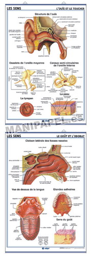 LÁMINAS DE ANATOMÍA SECUNDARIA FRANCÉS ED-925 L' Ouie et le Toucher / Le Goût et l' Odorat
