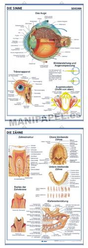 LÁMINAS DE ANATOMÍA SECUNDARIA ALEMÁN ED-933 Die Sinne / Die Zähne