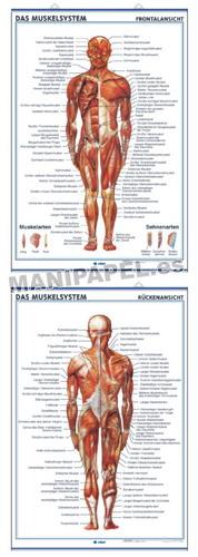LÁMINAS DE ANATOMÍA SECUNDARIA ALEMÁN ED-935 Das Muskelsystem ( frontalansicht ) / Das Muskelsys. ( rückenansicht )