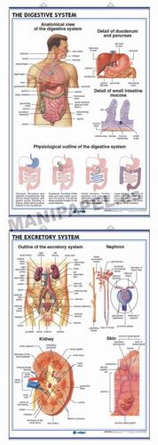 LÁMINAS DE ANATOMÍA SECUNDARIA INGLÉS ED-940 The Digestive System / The Excretory System