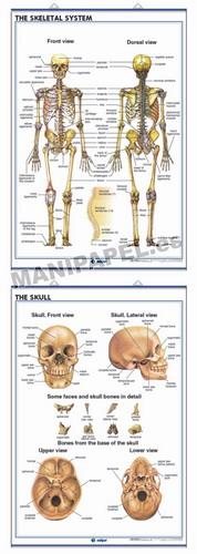 LÁMINAS DE ANATOMÍA SECUNDARIA INGLÉS ED-941 The Skeletal System / The Skull