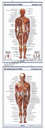LÁMINAS DE ANATOMÍA SECUNDARIA INGLÉS ED-942 The Muscular System ( front view ) / The Muscular System ( back view )