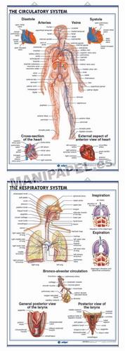 LÁMINAS DE ANATOMÍA SECUNDARIA INGLÉS ED-943 The Circulatory System / The Respiratory System
