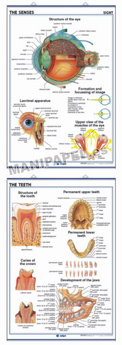 LÁMINAS DE ANATOMÍA SECUNDARIA INGLÉS ED-944 Sight / The Teeth
